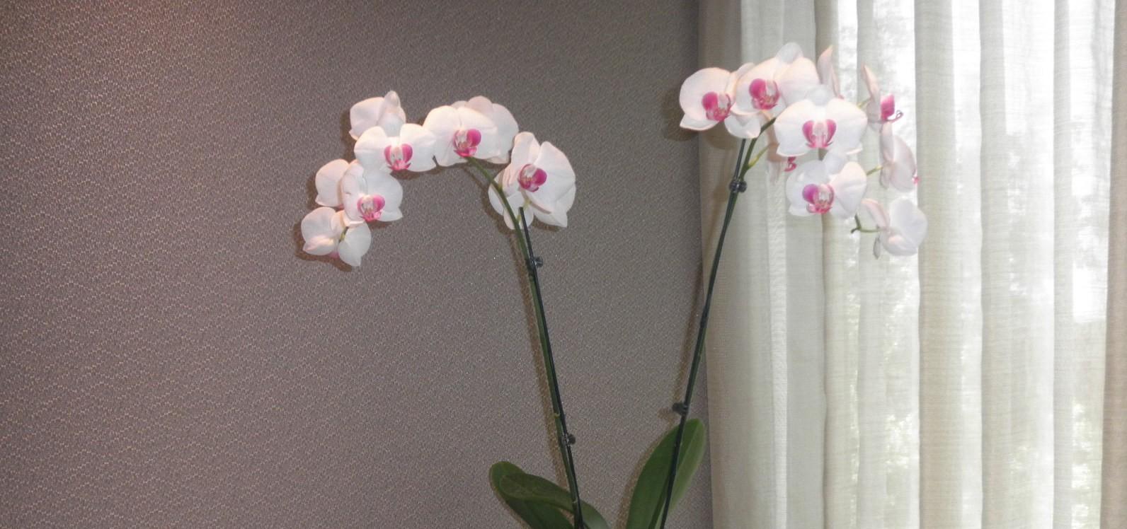 Exquisit Orchid