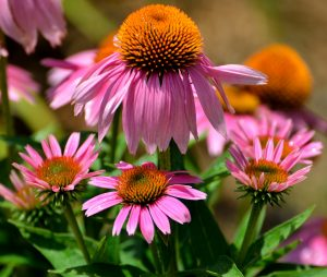 cone-flowers-1624684_1920