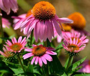 cone-flowers-1624684_1920